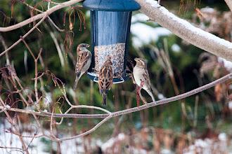 Photo: House Sparrows