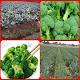 broccoli cultivation