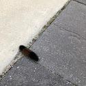 Woolly Bear Caterpillar