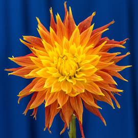 dahlia sunburst  beauty _1240 by Kathy Eder - Flowers Single Flower (  )