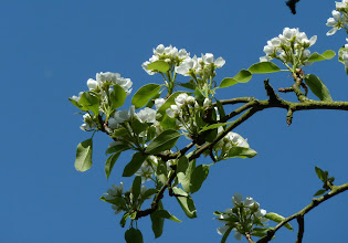Photo: Pear blossoming well
