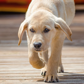 Fury by Dave Lipchen - Animals - Dogs Puppies ( yellow lab )