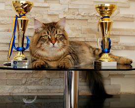 Photo: Левша Заимка.. В оба дня выставки - Победы!!! Лучший кот!!! 2*Ex1, 2*BIV, 2*NOM BIS, 2*BEST IN SHOW !!!