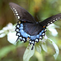 Spicebush Swallowtail (male)