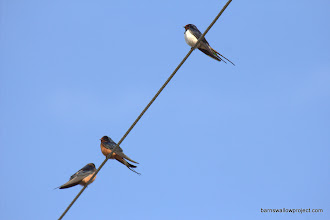 Photo: Georgy's photo: Two barn swallow subspecies sitting on a wire