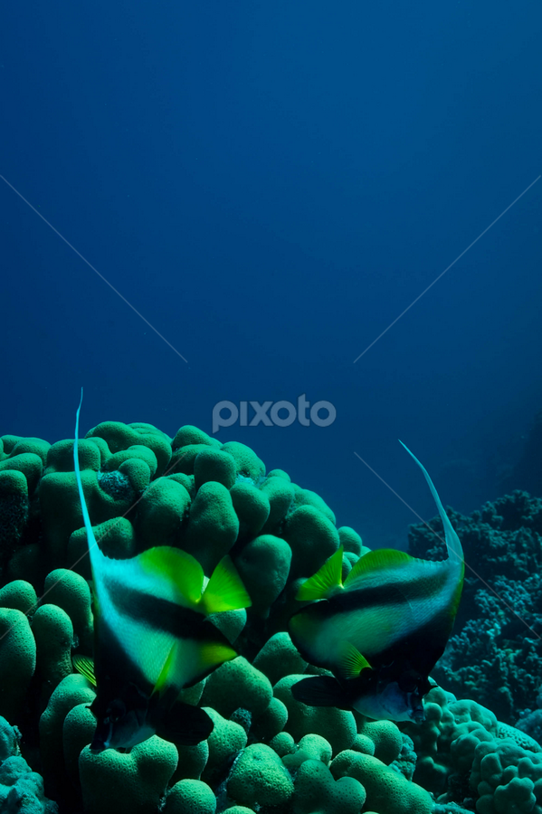 The Arch by Alin Miu - Landscapes Underwater ( sony nex 5, fotografie subacvatica, coral life, fish, bannerfish, www.fishtale.ro, fish on blue, yellow fish )