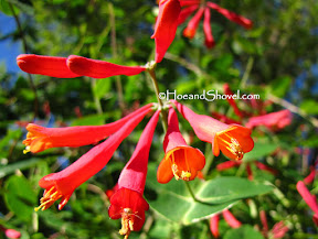 Coral Honeysuckle: Florida Native