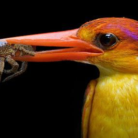 Oriental Dwarf Kingfisher  by Raj Dhage - Animals Birds
