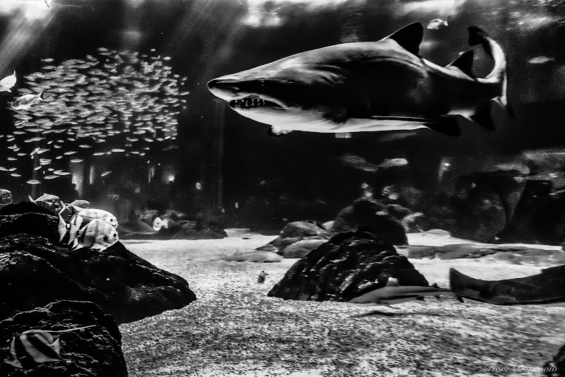 Lo squalo  di Fiore Doncovio