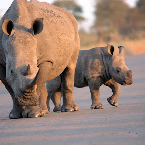 Precious commodity - Africa by Sheila Grobbelaar - Animals Other