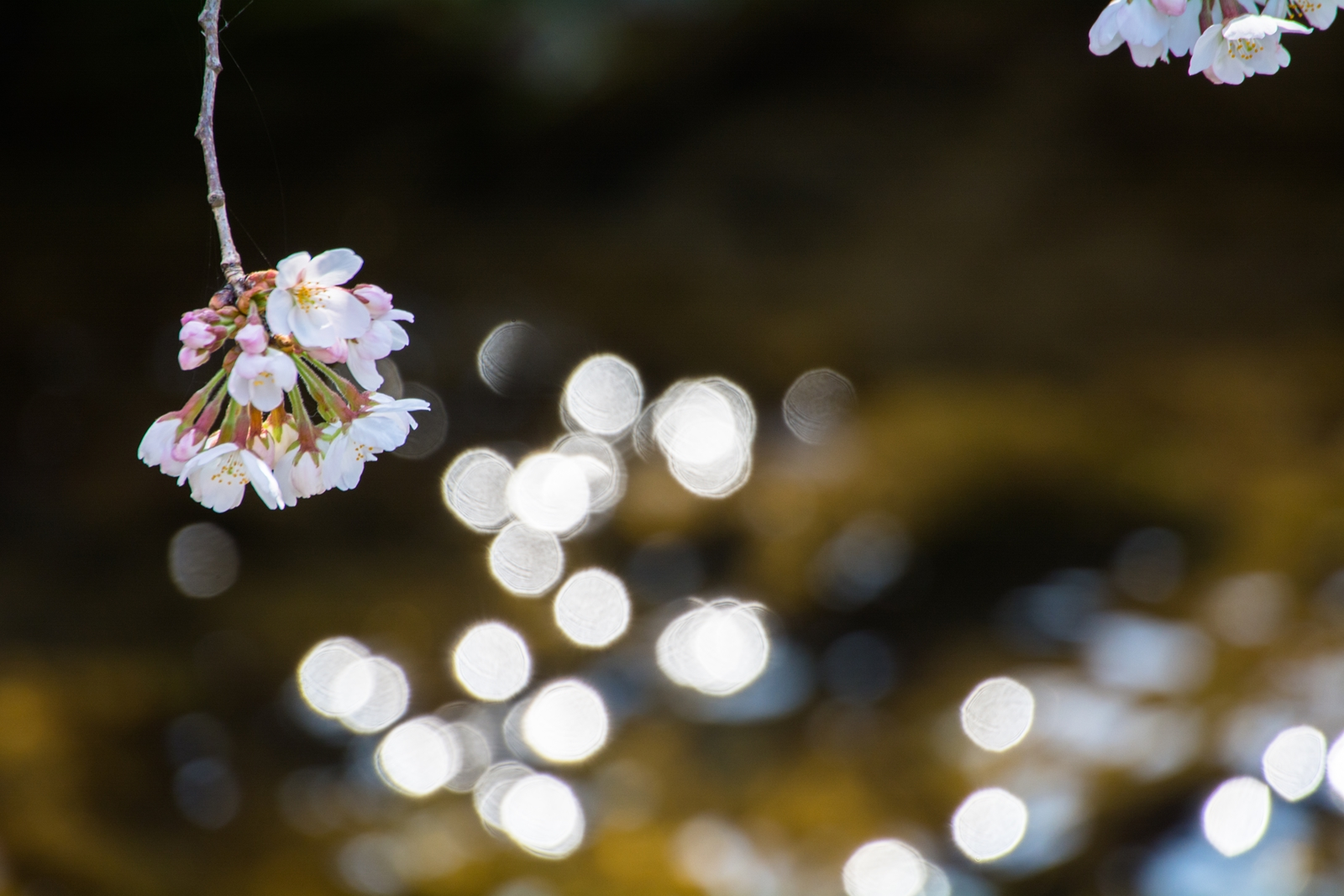 Photo: 開花の光を散らす Falling the shine of blooming.  花開く 待ちわびたその時 短くも精いっぱいに 存在を残すため その輝きを放つ  (川崎市二ヶ領用水の桜) #fujisakura #cooljapan #365cooljapanmay  #flower  Nikon D7100 SIGMA APO 50-500mm F5-6.3 DG OS HSM [ Day321, March 29th ] (7枚追加:Added 7 photo)