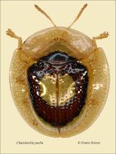 Photo: Charidotella puella, 4,5mm, Costa Rica, Esquinas Rainforest (08°42´/-83°12´), leg. Erwin Holzer, det. Lech Borowiec