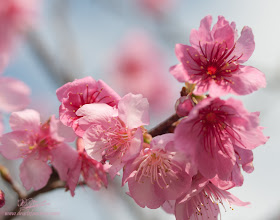 Photo: Sakura Delight