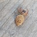 Spider (NZ)