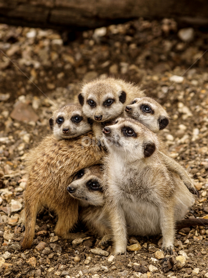 Meerkat group shot by Garry Chisholm - Animals Other Mammals ( garry chisholm, nature, wildlife, meerkat, mammal )