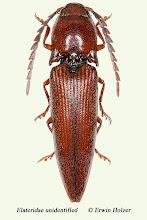Photo: unidentified (2), 18,8 mm, Costa Rica, Corcovado NP (08°27´/-83°29´), leg. Erwin Holzer