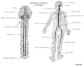Photo: cuerpo humano sistema nervioso