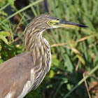 Chinese Pond-Heron ( चाईनिज आसकोटे बकुल्ला )