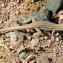 Bosc's Fringe-toed Lizard