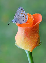 Photo: Argus Bleu, Polyommatus Icarus, Common Blue http://lepidoptera-butterflies.blogspot.com/ https://www.facebook.com/pages/Macro-Photography-Do-Dema/540798875993427