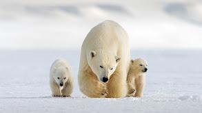 Snow Bears thumbnail