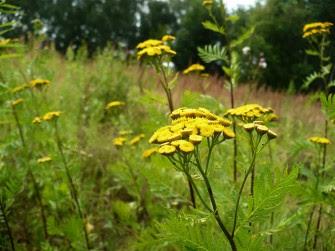 Wrotycz pospolity kwiaty Tanacetum vulgare flower