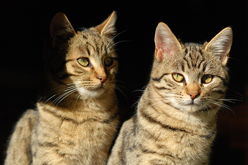 cat cloning the natural way, cat twins