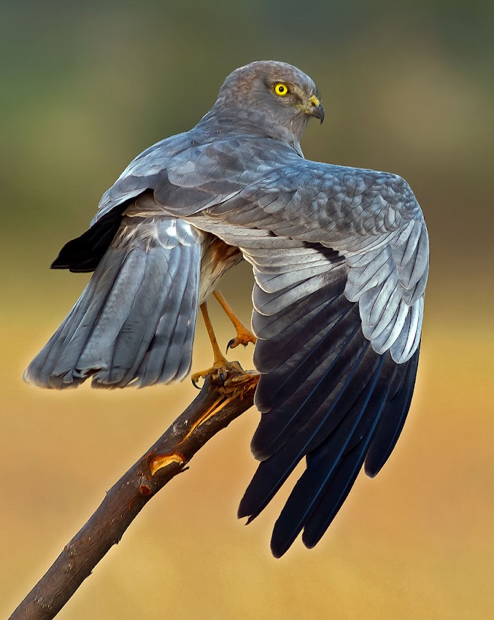 Montagu's Harrier by Deva Raja - Animals Birds ( the look )
