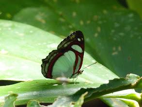 Photo: COMPLETE (GREEN-SPOTTED) REDRING--pyrrhogyra edocla--APUYA TRAIL