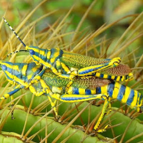 Piggy Ride by Vivek Sharma - Animals Insects & Spiders ( painted, nature, green, insects, mating, closeup, grasshopper, cactus,  )