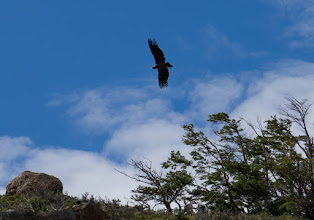 Photo: Andean Condor riding updrafts above a ridge