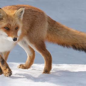 Pacing by Chris Wangard - Animals Other Mammals