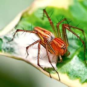 by Irfan Marindra - Animals Insects & Spiders