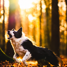 Tilly the Border Collie by Oliver Matthews - Animals - Dogs Running ( forest, jumping, collie, petphotographer, autumn, dog, border collie )