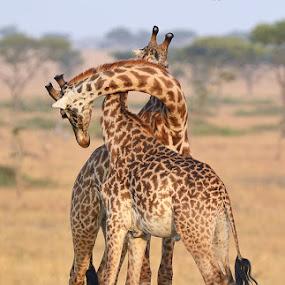 Necking by Andrew Morgan - Animals Other Mammals ( serengeti, fight, giraffe, safari, fighting, africa, long, animal )