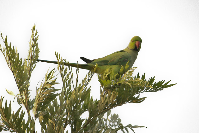 Rose ringed Parakeet - Female