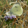 The Large white