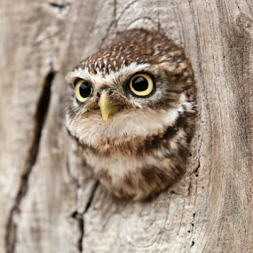 I Spy! by Dave Roberts - Animals Birds ( little owl, owls,  )