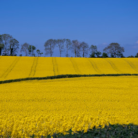 by Anna Stephens - Landscapes Prairies, Meadows & Fields ( rapeseed oil, ireland, rapeseed field )