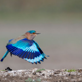 Indian Roller by Santanu Majumder - Animals Birds ( blue, indian roller, nature, bird, wildlife )