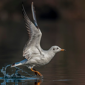 Sea gull by Riccardo Trevisani - Animals Birds ( riccardo trevisani, bird, wild, nature, birdwatch, wildlife, sea gull, animal, motion, animals in motion, pwc76 )