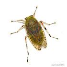 Aetalionid Treehopper