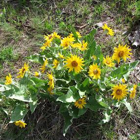 Wild Sunflowers by Gregg Landry - Flowers Flowers in the Wild ( wildflowers, nature, sunflowers, summer, flowers )