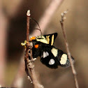 Eight Spotted Forester Moth