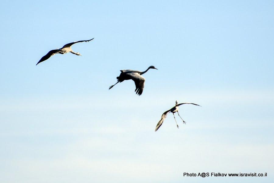 Журавленок учатся летать. Экскурсия в национальный заповедник перелетных птиц на озере Хула. Израиль.