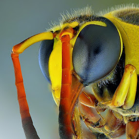 yellow jacket by Rhonny Dayusasono - Animals Insects & Spiders ( pwcinsectsandspiders )