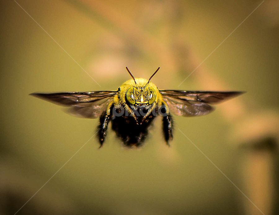 Catch me if you can by Tina Pettersson - Animals Insects & Spiders ( male carpenter bee, xylocopa caffra, mozambique, carpenter bee, africa )