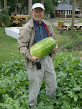 Photo: The mystery is solved:  a volunteer watermelon patch, just in time for a southern Halloween! 10/28/11