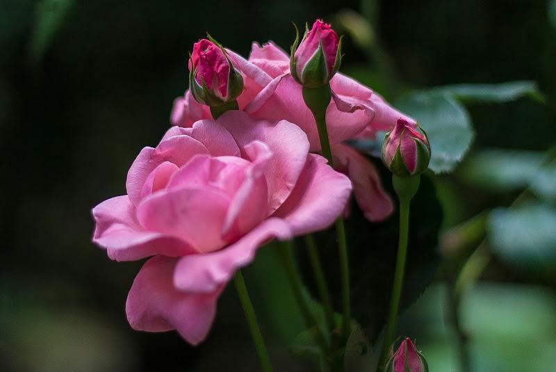 Little roses di Daniela Valeri