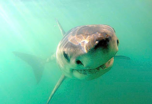 Great white sharks flee in terror